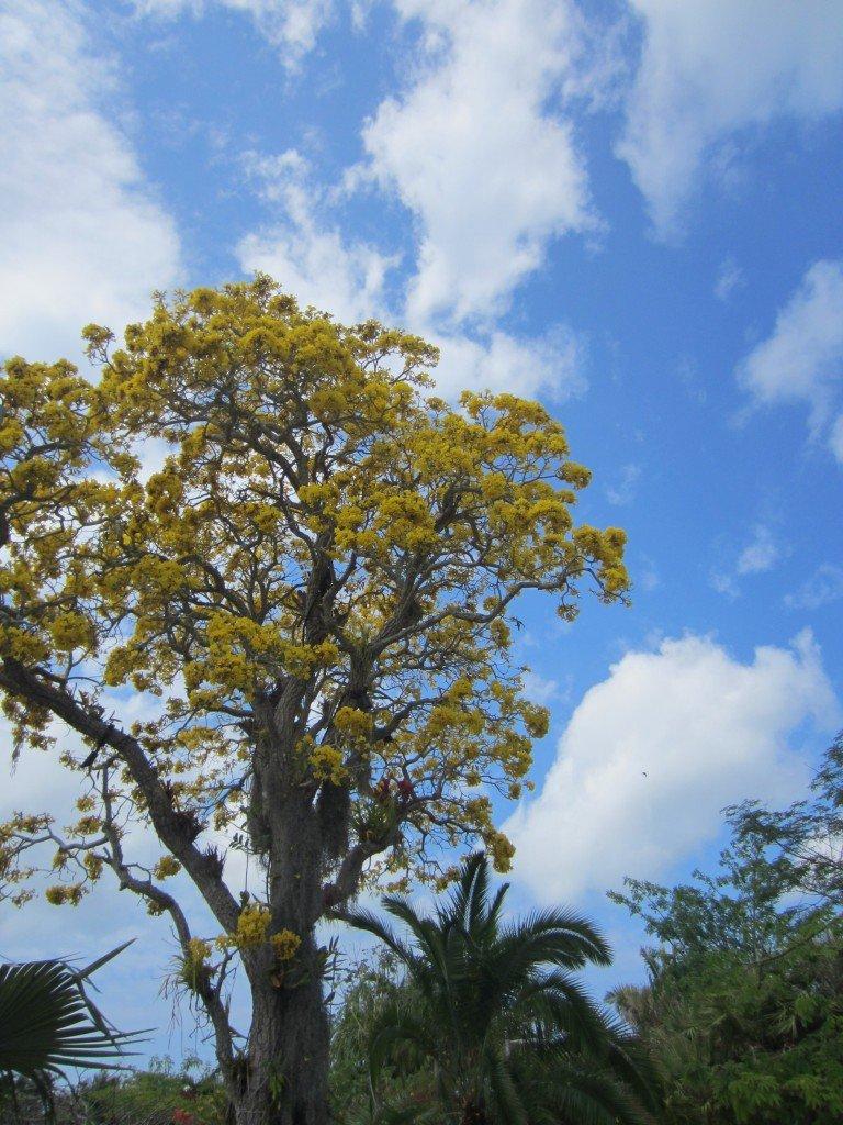 Cassia Trees